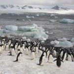 Adeliepinguine - Antarktis — Stockfoto