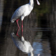 Stock Photo: AfricSpoonbill - Botswana