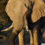 Постер, плакат: African Elephant Botswana