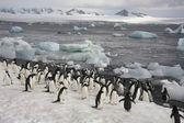 Adelie penguenleri - antarktika — Stok fotoğraf