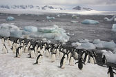 Pingüinos de adelia - antártida — Foto de Stock