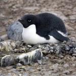 Adelie Penguin - Antarktis — Stockfoto