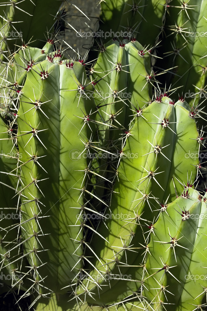 Cactus plant spines stock photo 17720397 - What is cactus plant good for ...