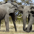 Stock Photo: AfricElephant - Botswana