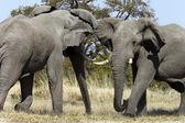 Elefante africano - botswana — Foto de Stock