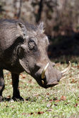 Common Warthog - Zimbabwe — Stock Photo