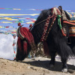 Yak - Tibet Autonomous Region of China - Stock Photo
