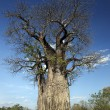Stock Photo: Baobab Tree (Adansonidigitata) - Botswana