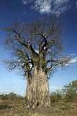 Baobab Tree (Adansonia digitata) - Botswana — Stock Photo