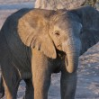 Baby Elephant - Botswana - Stock Photo