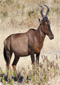Red Hartebeest - Namibia — Stock Photo