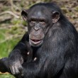 Stock Photo: Chimpanzee - Zambia