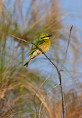 Little Bee-eater - Okavango Delta - Botswana — Stock Photo