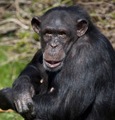 Chimpanzee - Zambia — Stock Photo
