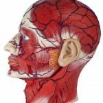 Medicine - Human Physiology — Stock Photo