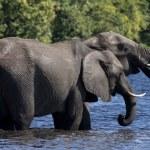 Постер, плакат: African Elephants Loxodonta africanus Botswana