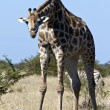 Stock Photo: Giraffe (Giraffcamelopardalis) Botswana