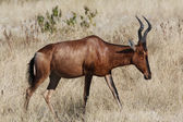Red Hartebeest (Alcelaphus buselaphus) Namibia — Stock fotografie