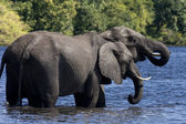 African Elephants (Loxodonta africanus) Botswana — Stock Photo