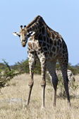 Giraffe (Giraffa camelopardalis) Botswana — Stock Photo