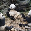 giant panda - chengdu - china — Stock Photo