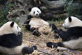 Giant Panda - Chengdu - China — Stock Photo