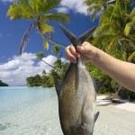 在库克群岛艾图塔基岛环礁湖中捕到鱼 — 图库照片