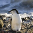 Stock Photo: Chinstrap Penguin - Antarctica