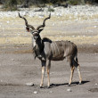 Male Kudu (Tragelaphus strepsiceros) Namibia — Stock Photo