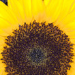 Sun Flower (Helianthus annuus) — Stock Photo