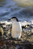 Chinstrap Penguin - Antarctica — Stock Photo