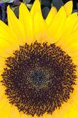 Sun Flower (Helianthus annuus) — Stock Photo
