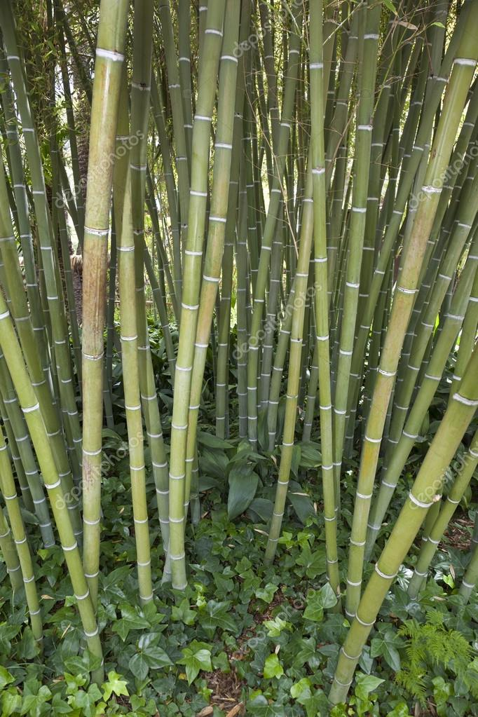 Bamboo - A giant woody grass that grows chiefly in the tropics, where it is widely cultivated. The hollow jointed stem of this plant is used as a cane or to make furniture etc. — Stock Photo #18309953