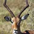 Male Impala - Botswana - Stock Photo