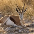 Stock Photo: Springbok - EtoshNational Park - Namibia