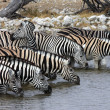 Zebra Drinking - Etosha - Namibia — Stock Photo #18334423
