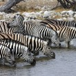 Zebra Drinking - Etosha - Namibia — Stock Photo