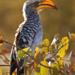 Yellowbilled Hornbill - Khwai River - Botswana - Stock Photo
