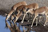 Group of female Impala - Namibia — Stock Photo