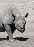 Black Rhinoceros - Etosha - Namibia — Stock Photo