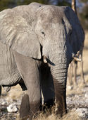 Elephant (Loxodonta africana) Namibia — Stock Photo