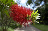 Australian Bottlebrush Tree — Stock Photo