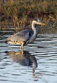 Grey Heron - Okavango Delta - Botswana — Stock Photo