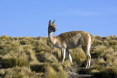 Vicuna - Atacama Desert - Chile — Stock Photo