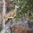 Klipspringer  (Oreotragus oreotragus)  Namibia — Stock Photo