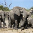 Group of Elephants - Botswana - Stock Photo