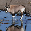 Gemsbok at a waterhole - Etosha - Namibia — Stock Photo