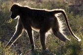 Baboon - Okavango Delta - Botswana — Stock Photo