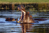 Hippopotamus in the Chobe River - Botswana — Stock Photo