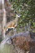 Klipspringer (Oreotragus oreotragus) Namibia — Stock Photo